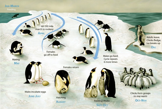 emperor Penguin lifecycle habit